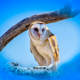 The Barn Owl by Fred Herring - Digital Art Animals