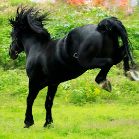 jumping and jumping by Cristobal Garciaferro Rubio - Animals Horses ( stallion, black stallion, balck, horse, black horse, jump )