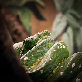 Green by Dale Pausinga - Animals Reptiles ( snake, green, coiled, reptile )