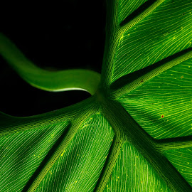 Venous by Ashleigh Pienaar - Nature Up Close Leaves & Grasses ( leading lines, backlight, green, lines, leaf, veins,  )