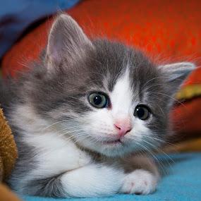 Kika by Mario Novak - Animals - Cats Kittens ( domestic cat little eyes nose grey white )