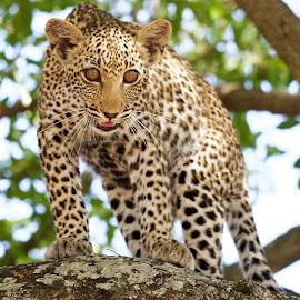 Leopard Cub by Sean & Richard Photography - Animals Lions, Tigers & Big Cats ( big cat, big cats, nature, leopard cub, safari, wildlife, kruger, africa, leopard, animal )