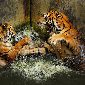 battle 2 by Narsiskus Tedy - Animals Lions, Tigers & Big Cats