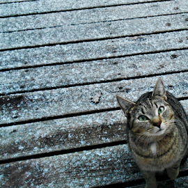Please Let Me Inside! by Liz Pascal - Animals - Cats Playing ( snow cats, tabby cat, tiger cat, green eyed cat, outdoor kitties, winter cat,  )