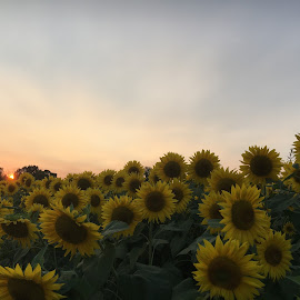 Sunflowers with Sun Peeking Out by Kristine Nicholas - Novices Only Flowers & Plants ( clouds, sky, nature, colors, sunset, green, nature up close, yellow, landscape, flowers, sun, flower )