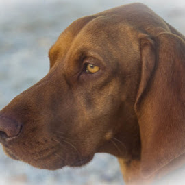 by Shirley Warner - Animals - Dogs Portraits ( brown, head, dog, portrait, animal )