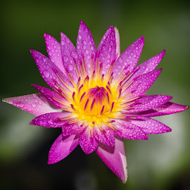 Lily by Ryan Dominguez - Flowers Single Flower ( morning mist, water drops, lily, rain drops, water lily, purple flower )