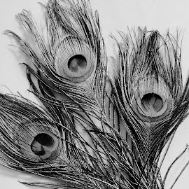 Feathers by SANGEETA MENA  - Black & White Objects & Still Life