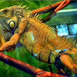 posing iguana by Nic Scott - Animals Reptiles ( iguana, animal )