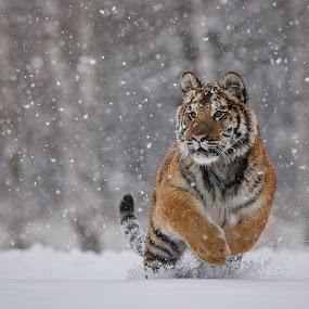 Tiger ussurian by Jiri Cetkovsky - Animals Lions, Tigers & Big Cats ( tiger, ussurian, run, leila, snowing )