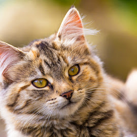 Fizz by Richard Duerksen - Animals - Cats Portraits ( kitten, cat, gold eyes, hastings, new zealand )