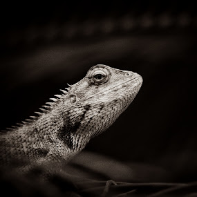 Starring Dragon by Tarun Jha - Animals Reptiles ( close up of lizard, reptiles, lizard, black & white, insect )