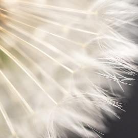 Dandelion Seed Head by Linda Johnstone - Nature Up Close Other plants ( macro, nature, dandelion, nature up close, beauty in nature, close up, photography )