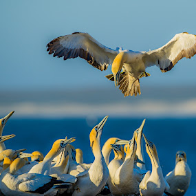 Where is my nest ? by Bridgena Barnard - Animals Birds ( bird, gannet, nature, fantastic wildlife,  )
