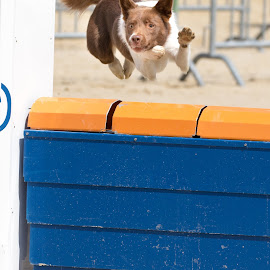 by Peter Grutter - Animals - Dogs Running ( dogs, wadenswil, reitanlage geren, agility )