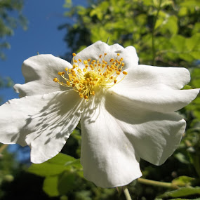 Цвят by Georgi Kolev - Flowers Single Flower ( небе., слънце., ден., цвят., дървета. )