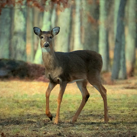 Spring is in the air by Sue Delia - Animals Other ( nature, whitetail, spring, deer )