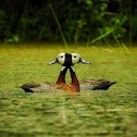 White-faced Whistling-Duck