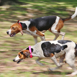 Coon Hunt by Jerry Ehlers - Animals - Dogs Running ( dogs, coon hunt, tahlequah oklahoma, red fern festival, running,  )
