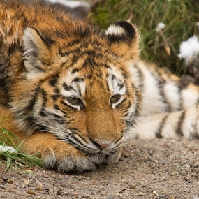 little tiger by Marc Zangger - Animals Lions, Tigers & Big Cats ( big cat, tiger cub, siberian tiger, amur tiger, tiger, wildlife, baby, panthera tigris altaica )