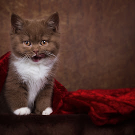 Sweet British Shorthair Kitten - Portrait by Janina Bürger - Animals - Cats Kittens ( kitten, cat, sweet, portrait,  )