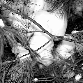 Pine tree needles by Kathleen Waterman - Nature Up Close Leaves & Grasses