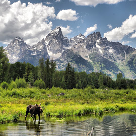 teton moose by Dave Bower - Landscapes Mountains & Hills