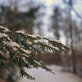 A Dusting by Mark Mynott - Nature Up Close Trees & Bushes ( natural light, tranquil, snow, pine needles, nature up close, hemlock, woods, new hampshire )