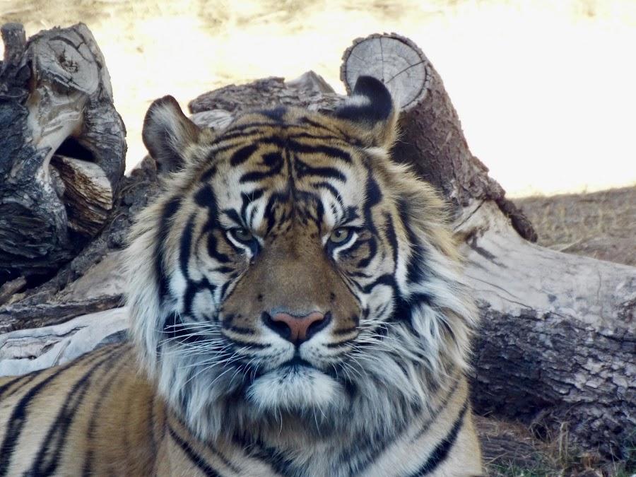 I'll show you grumpy  by Donna Probasco - Animals Lions, Tigers & Big Cats (  )