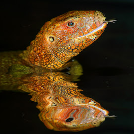 Dracaena guianensis reflexion by Gérard CHATENET - Animals Reptiles