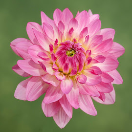 Pink and purple flower by Jim Downey - Flowers Single Flower ( red, pink, green, yellow, purple )