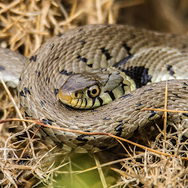 Grass snake by Garry Chisholm - Animals Reptiles ( garry chisholm, nature, grass snake, british wildlife, reptile )