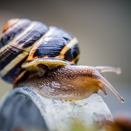 Snail by Ian McGuirk - Animals Other