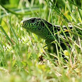 by Olga Havlíčková - Animals Reptiles