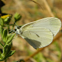 The wood white