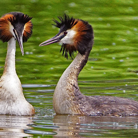 Pair of Grebes by Bob Rawlinson - Animals Birds ( fishfarm )