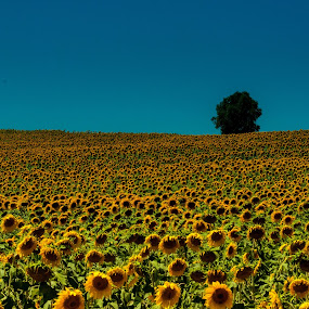 Sunflowers by Luís Perdigão - Landscapes Prairies, Meadows & Fields