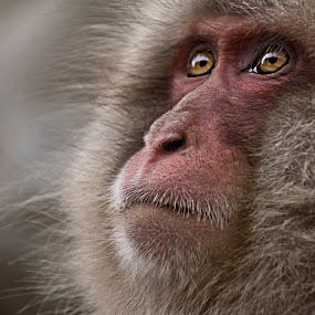 Wisdom by Petra Bensted - Animals Other Mammals ( wild, japan, snow monkey, nature, monkey, animal )