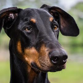 Doberman by Mark Halliday - Animals - Dogs Portraits ( face, dog, doberman, black, portrait )