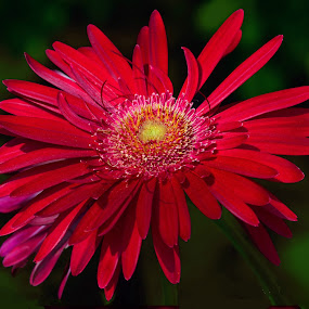 Red Flower by William Lallemand - Nature Up Close Flowers - 2011-2013 ( pwcredscape )