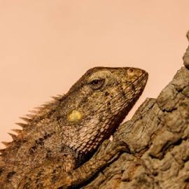 garden lizard by Abhiroop Gill - Animals Reptiles ( lizard, dragon, brown, reptile, garden, eyes )