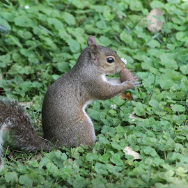 Squirrel by Karen Carter Goforth - Uncategorized All Uncategorized ( squirrel, rodent, animal,  )