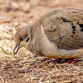 Mourning Dove Eating by Jim Hendrickson - Novices Only Wildlife ( bird, oklahoma, texas, feeding, wildlife, morning dove, morning, birds, dove )