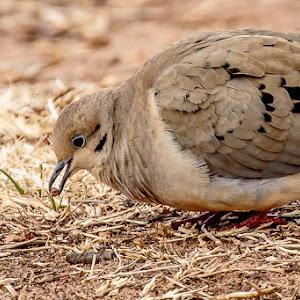 dove eating  18 Feb-1.jpg