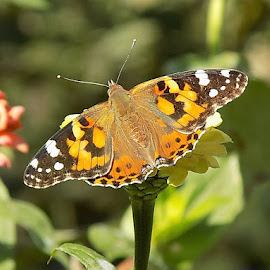 Painted lady in macro by Mary Gallo - Animals Insects & Spiders ( butterfly, painted lady butterfly, butterfly on flower, nature, wildlife, insect, garden, macro butterfly, animal )