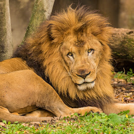 Male Lion by Carl Albro - Animals Lions, Tigers & Big Cats ( lion, mammal )