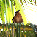 Boat Tailed Grackle (female)