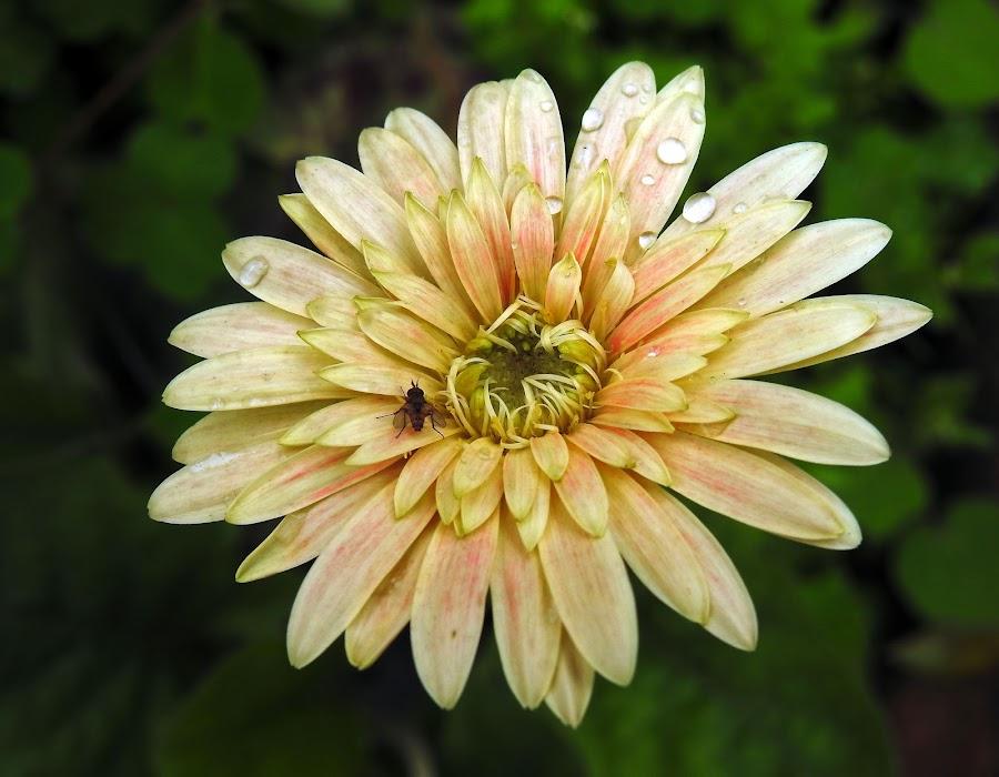 Gerbera  by Asif Bora - Flowers Flowers in the Wild