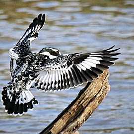 Landing by Pieter J de Villiers - Animals Birds ( mapungubwe national park, animals, pied kingfisher, maloutswa bird hide, africa, birds )