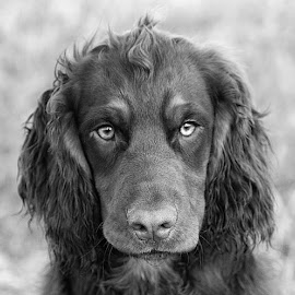 Dax by Chrissie Barrow - Black & White Animals ( monochrome, black and white, cocker spaniel, pet, fur, ears, dog, mono, nose, portrait, eyes, animal )
